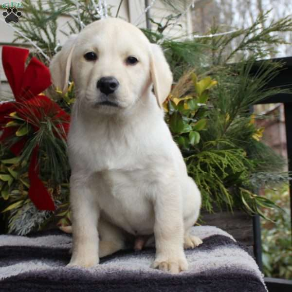 Elmo, Yellow Labrador Retriever Puppy
