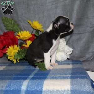 Hailey, Boston Terrier Puppy