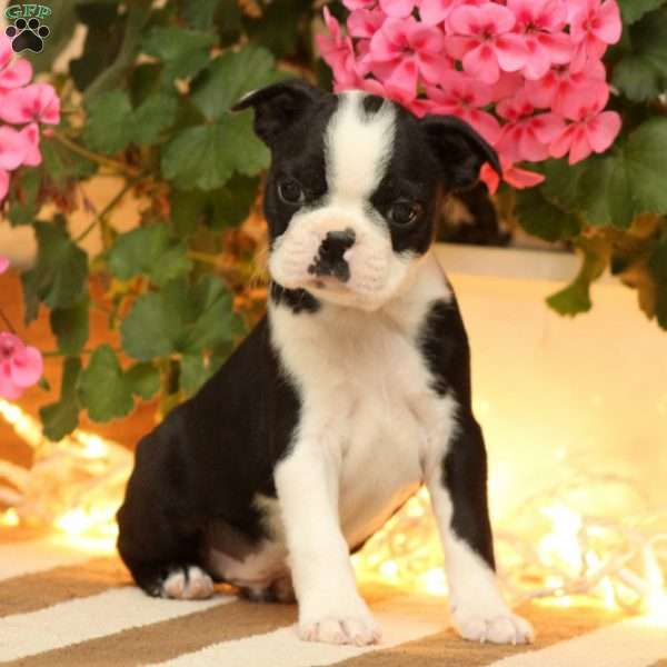 Abe, Boston Terrier Puppy