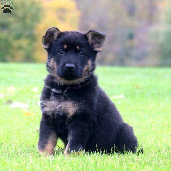 Ajay, German Shepherd Puppy