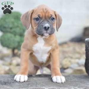 Boxer Dog For Sale In Pa