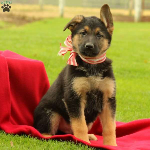 Apollo, German Shepherd Puppy