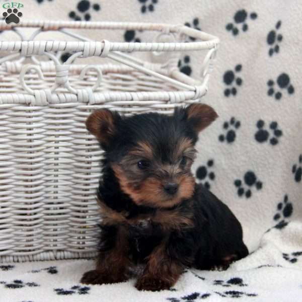 Bailey, Yorkshire Terrier Puppy