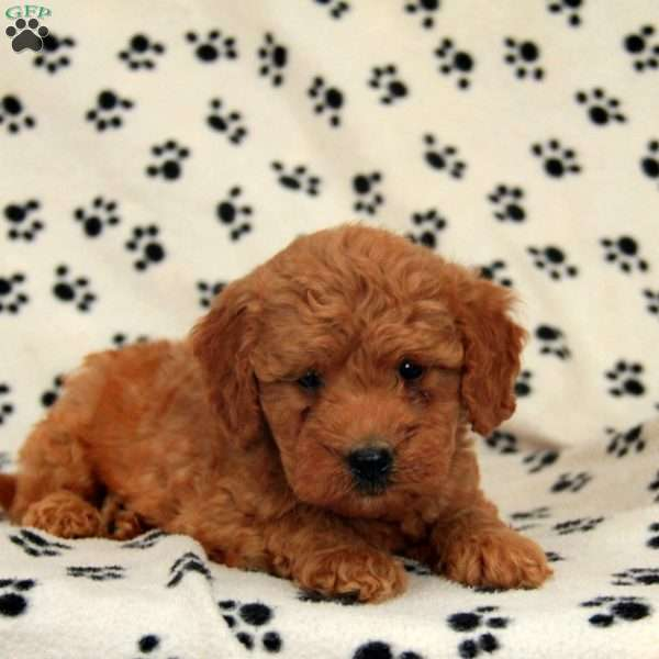 Booker, Mini Goldendoodle Puppy