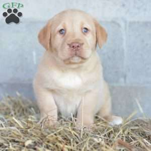 Brandon, Labrador Retriever-Yellow Puppy