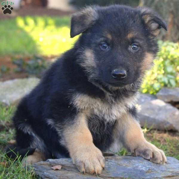Bruce, German Shepherd Puppy