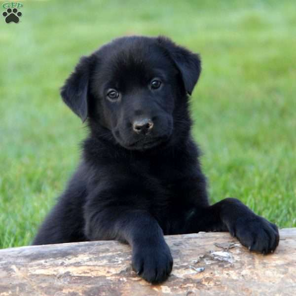 Camilla, Labrador Mix Puppy