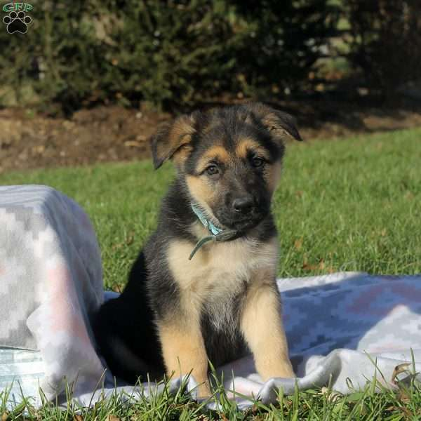 Candy, German Shepherd Puppy
