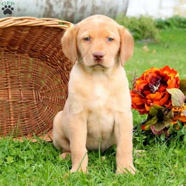 Carla, Yellow Labrador Retriever Puppy