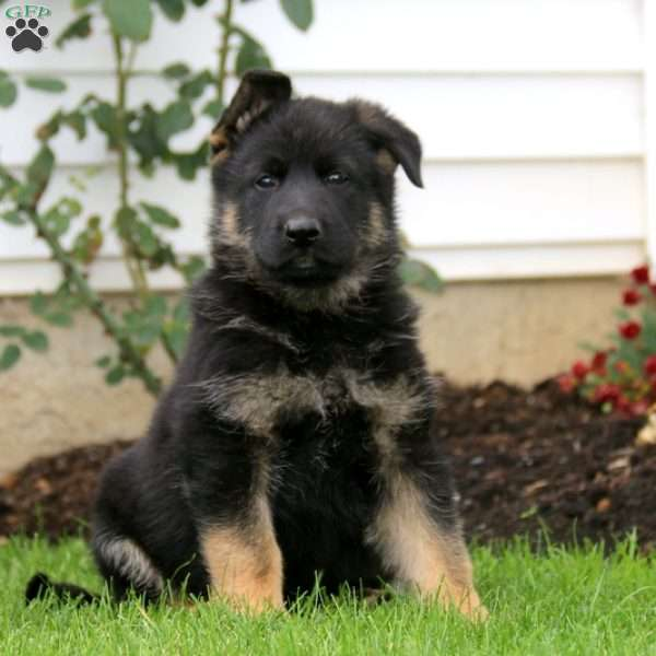 Champ, German Shepherd Puppy