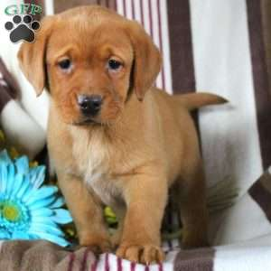 Chelsea, Labrador Retriever-Fox Red Puppy