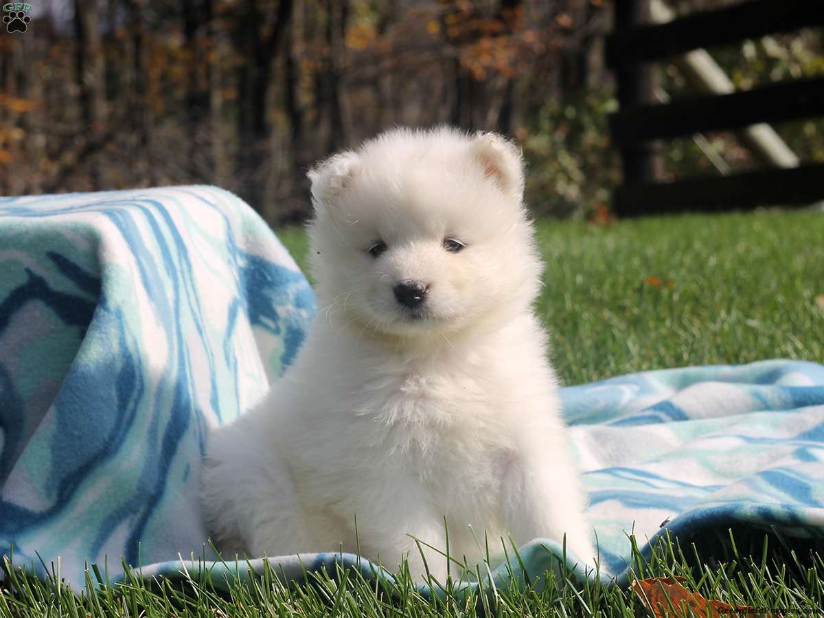 American Eskimo Dogs For Sale In Wisconsin