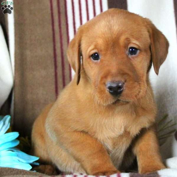 Chuck, Labrador Retriever-Fox Red Puppy