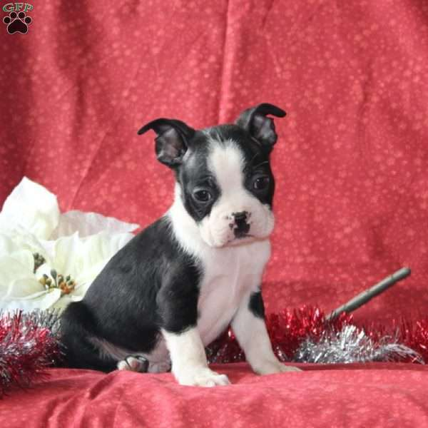 Clark, Boston Terrier Puppy