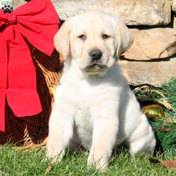 Clyde, Yellow Labrador Retriever Puppy