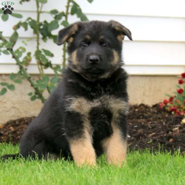 Cocoa, German Shepherd Puppy