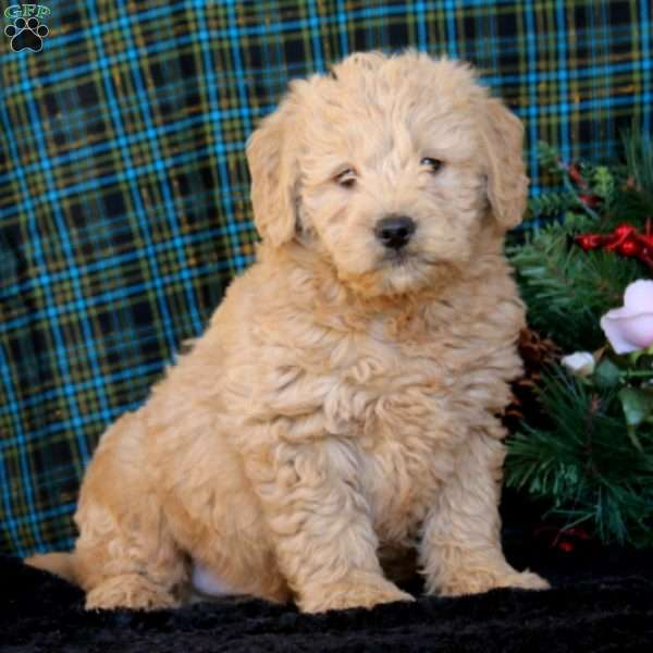 Colby - Double Doodle Puppy For Sale in Pennsylvania