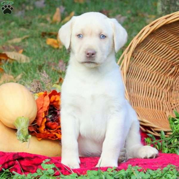 Eldon, Yellow Labrador Retriever Puppy