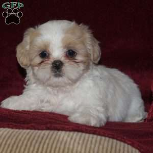 shih tzu puppies for sale in philadelphia shih tzu puppies for sale in de md ny nj philly dc and 108