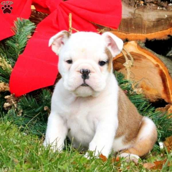 Gabriella, English Bulldog Puppy