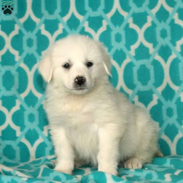 Gill, Great Pyrenees Puppy