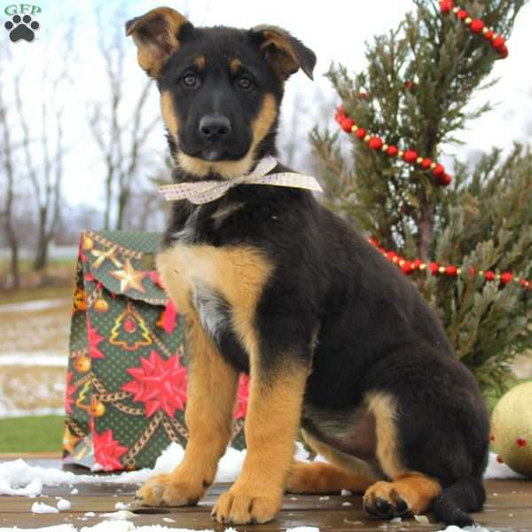 Gloria Mae, German Shepherd Puppy