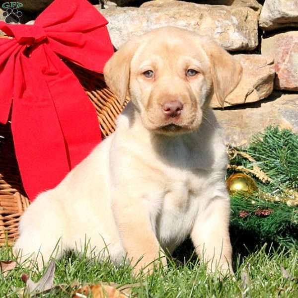 Gus, Yellow Labrador Retriever Puppy