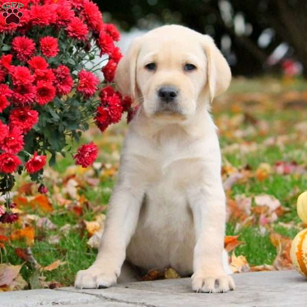 Harmony, Yellow Labrador Retriever Puppy