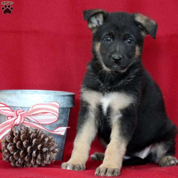 Harper, German Shepherd Puppy