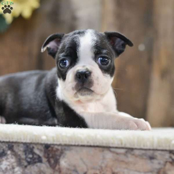 Holly, Boston Terrier Puppy