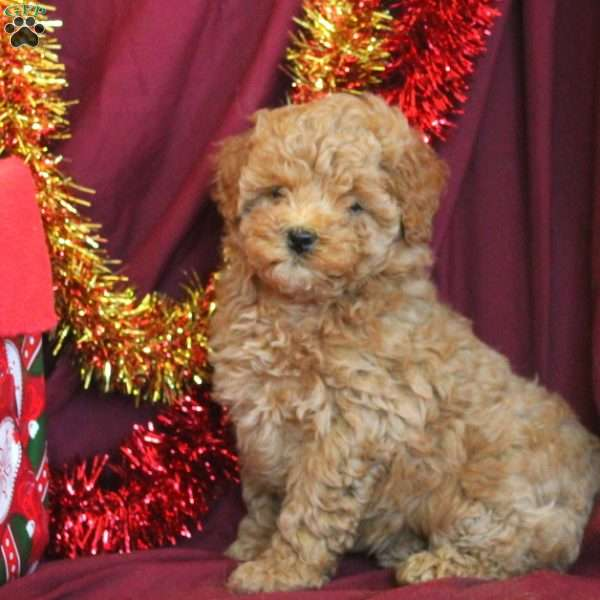 Holly, Miniature Poodle Puppy
