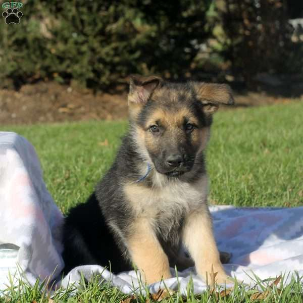 Hot Chocolate, German Shepherd Puppy