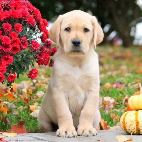 Hudson, Yellow Labrador Retriever Puppy