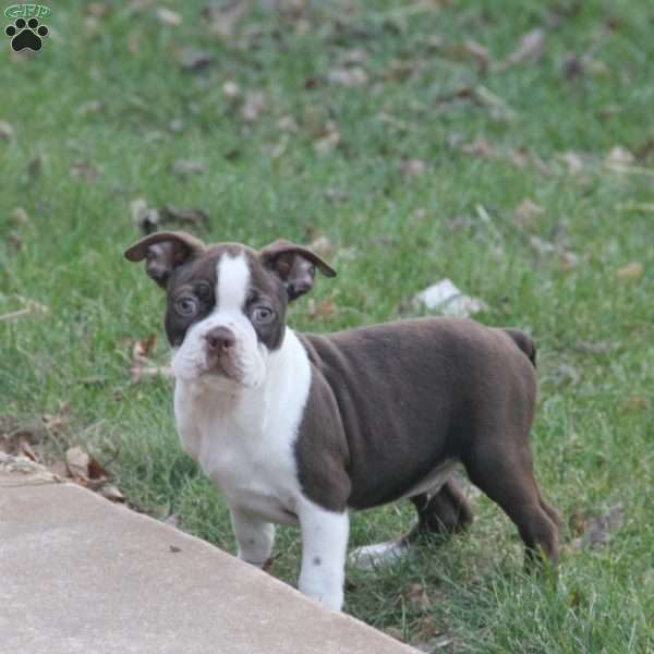 Buster, Boston Terrier Puppy