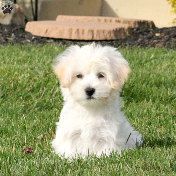 jacoby maltese mix puppy for sale in pennsylvania