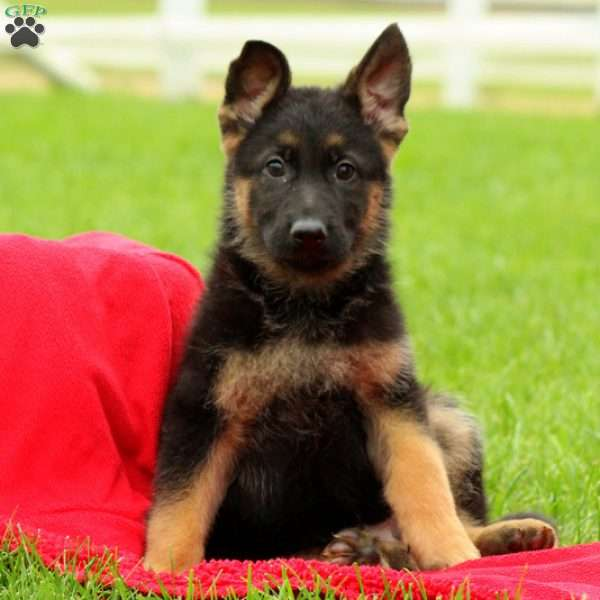 Jambo, German Shepherd Puppy