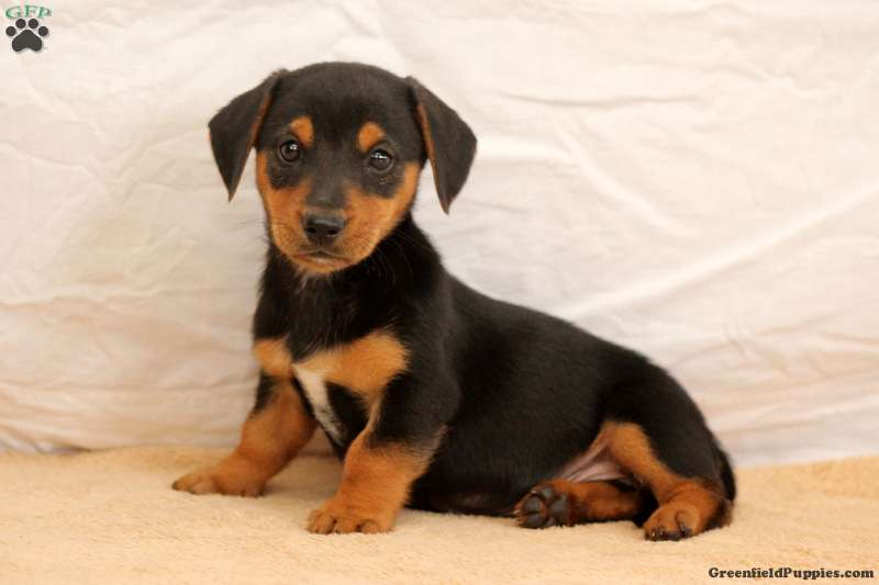 Jasper Dachshund Mix Puppy For Sale In Pennsylvania