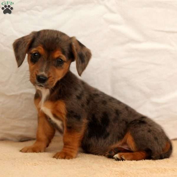 Jemma Dachshund Mix Puppy For Sale In Pennsylvania
