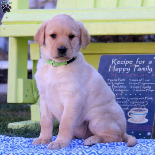 Jingle, Yellow Labrador Retriever Puppy