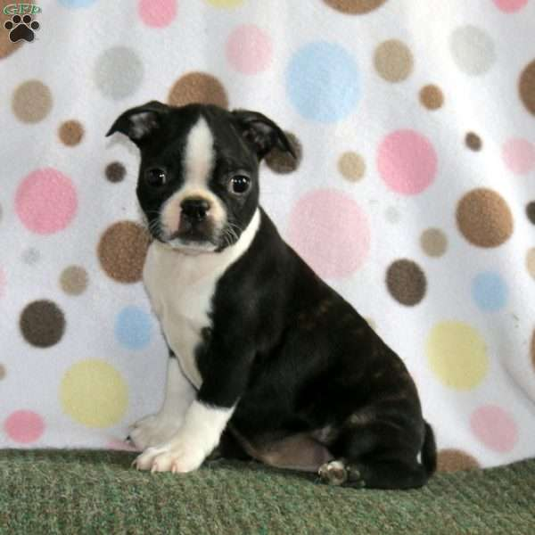 Jolly Joe, Boston Terrier Puppy