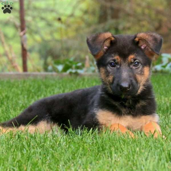 Julie, German Shepherd Puppy