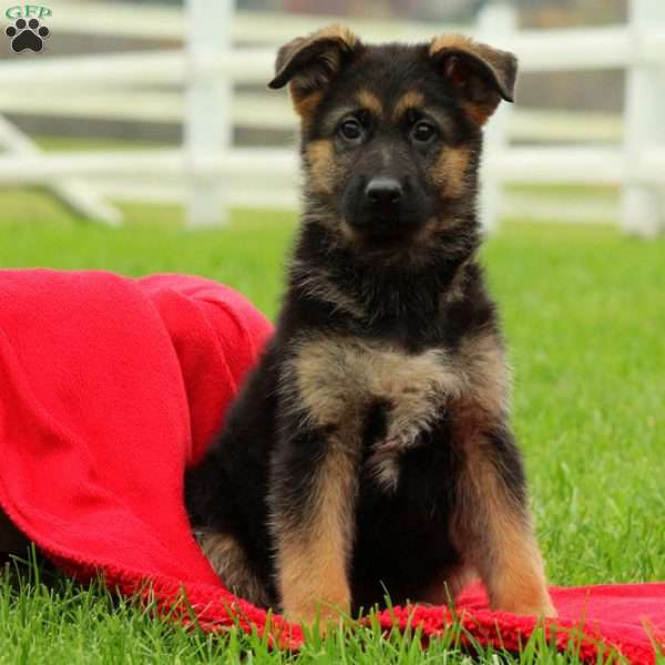 Juliet, German Shepherd Puppy
