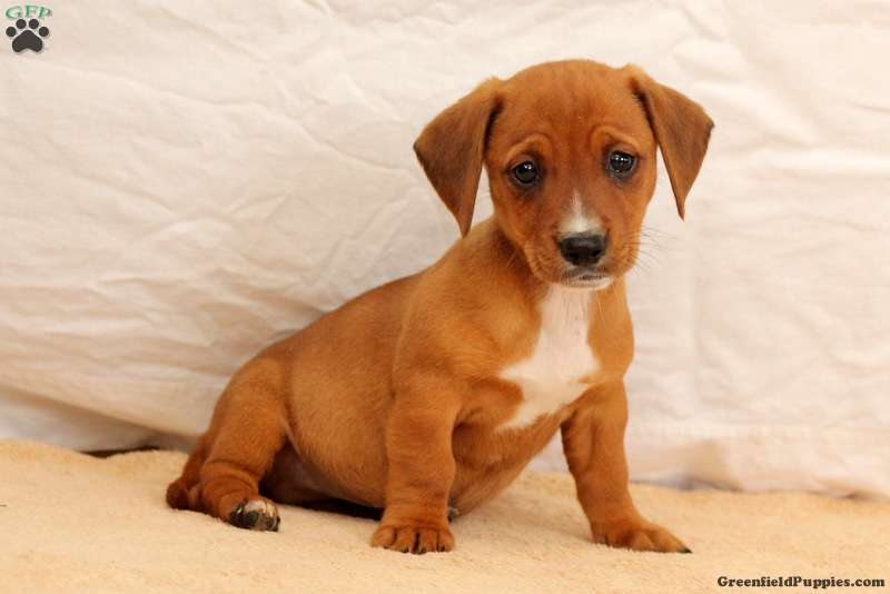 Juno Dachshund Mix Puppy For Sale In Pennsylvania