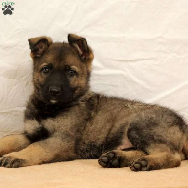 Keeley, German Shepherd Puppy