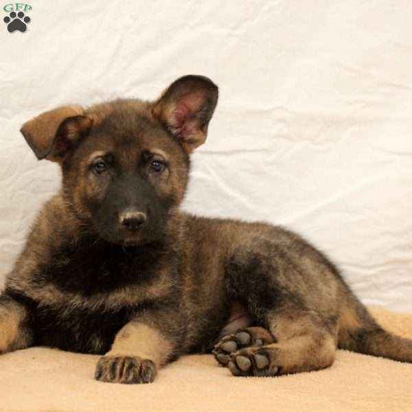 Kingsley, German Shepherd Puppy