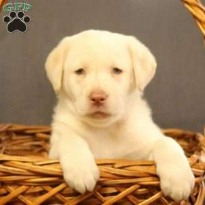 Kip, Labrador Retriever-Yellow Puppy