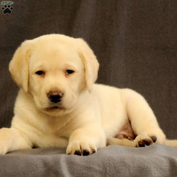 Kody, Yellow Labrador Retriever Puppy