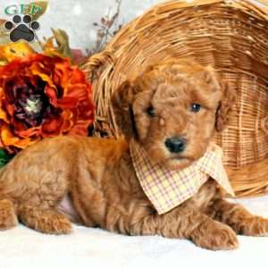 Lacey, Goldendoodle-Miniature Puppy