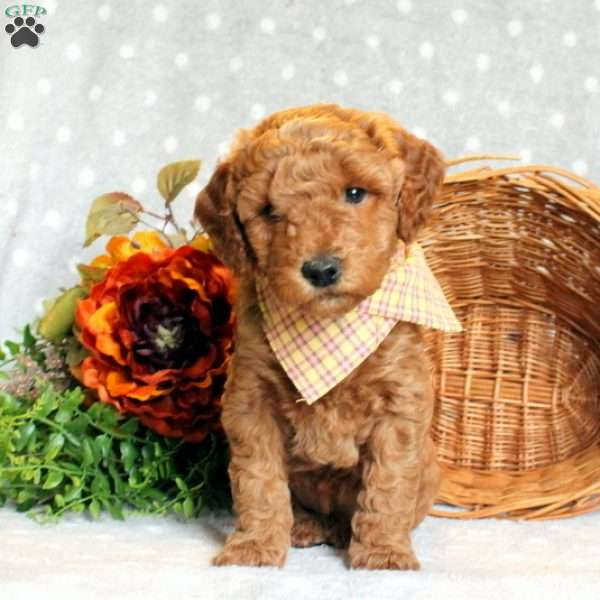 Lacey, Miniature Goldendoodle Puppy