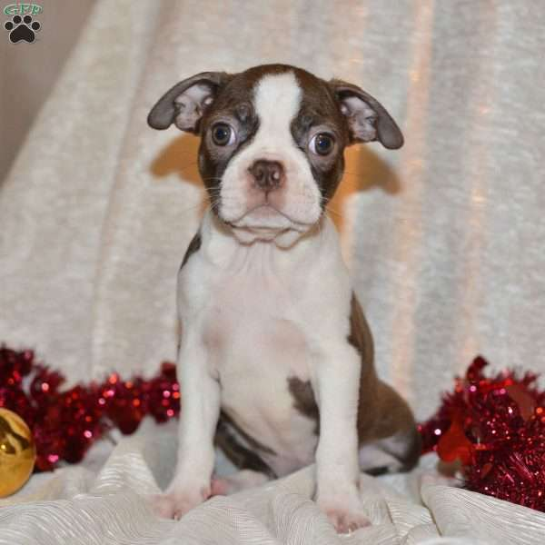 Lacy, Boston Terrier Puppy